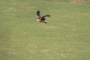 Red Kites often nest in Brineddin Wood